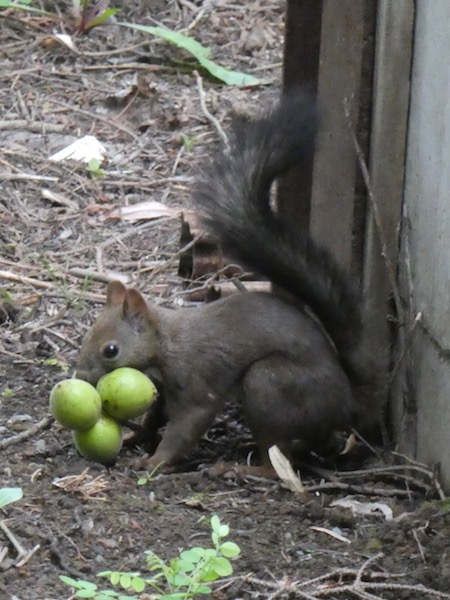 Squirrel carrying three small fruits of some kind