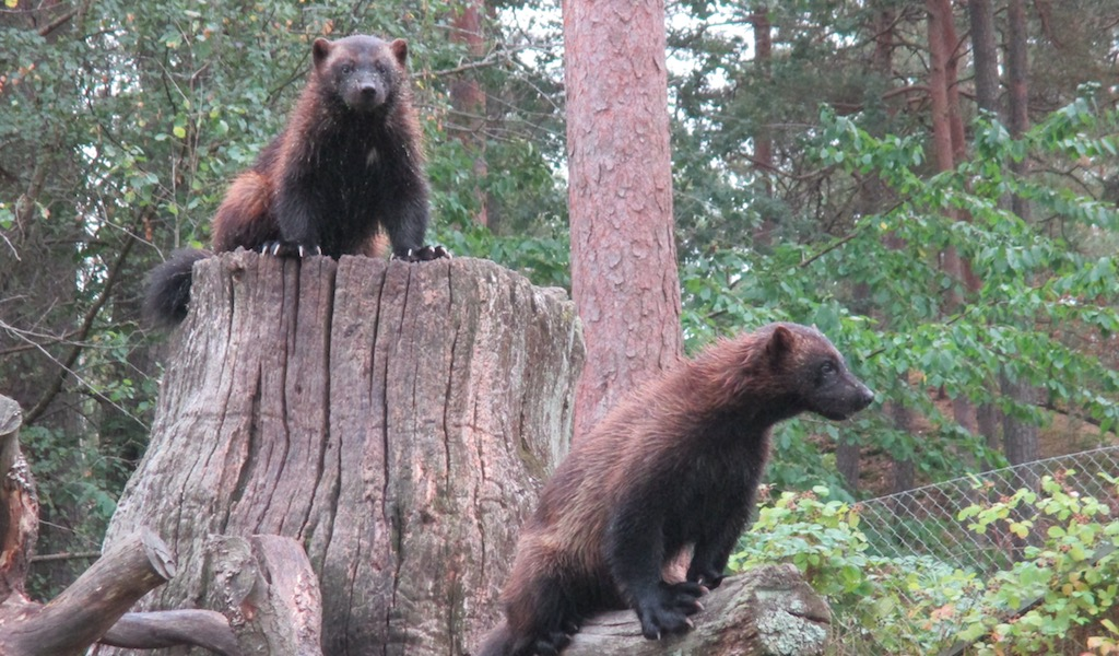 Wolverines Kolmården August 2014